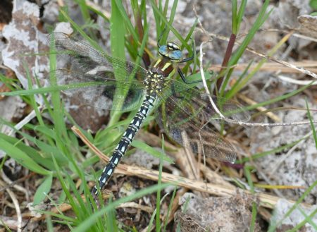 Hairy dragonfly Stephen Parker
